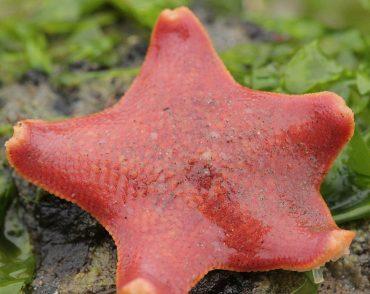 patiria miniata starfish
